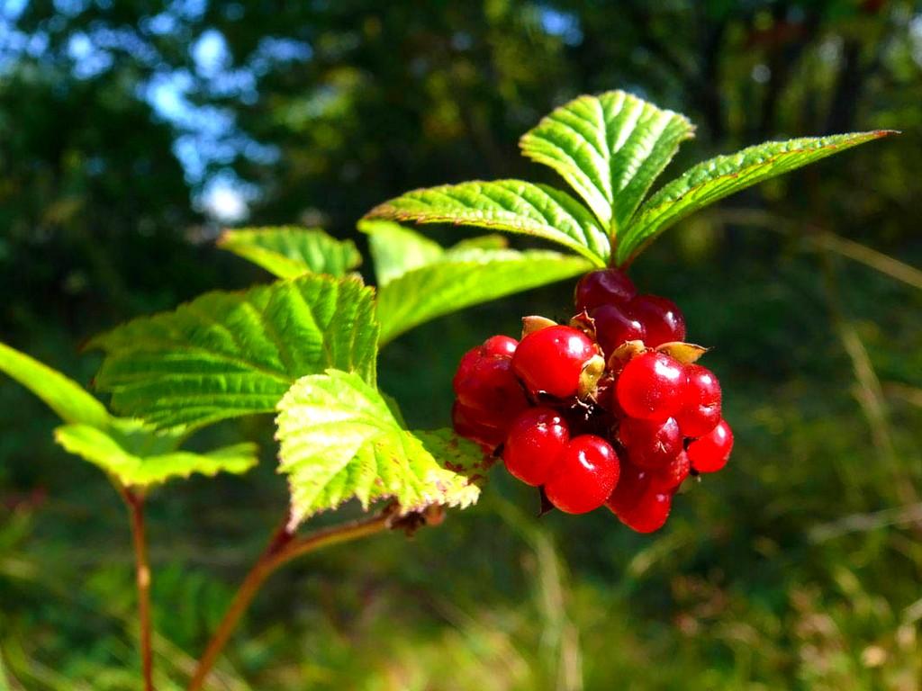 Выживание в дикой природе. Употребление растений в пищу.